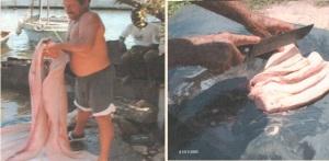 Producción y empleo del aceite de hígado de tiburón como expresión del patrimonio inmaterial cienfueguero - Norma Rojo López
